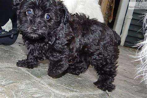 teacup yorkie poos for sale yorkie poo puppies for sale in indiana breeds picture