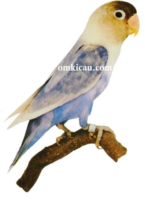 Kaos Lovebird Lutino gambar burung jenggot gambar 06