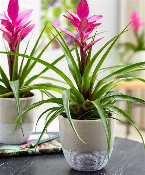 Indoor House Plants Sale buy house plants now tillandsia antonio bakker com