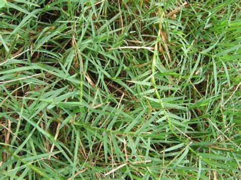 Grass Medicinal Uses by Bermuda Grass Cynodon Dactylon Health Benefits Hakeem