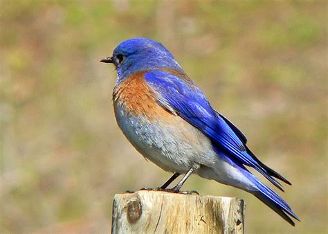 western bluebird sialia mexicana northern california
