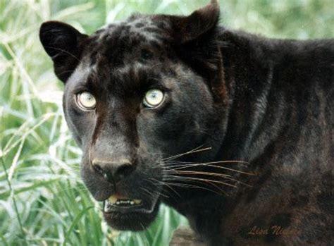 male black leopard  jpg  image