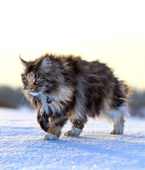 5 things you didn t know about maine coons maine coon