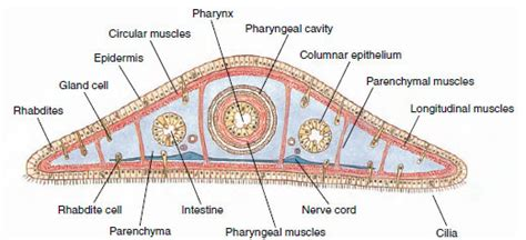 Cross Section Of Planaria by Platyhelminthes Animal Phylums