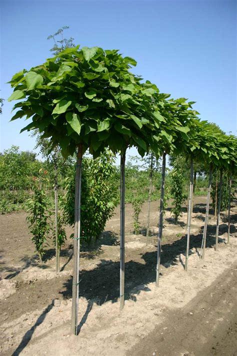 kugel trompetenbaum kaufen baum und rosenschule zumpe