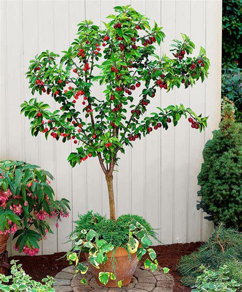 alberelli da vaso come coltivare gli alberi da frutto in vaso