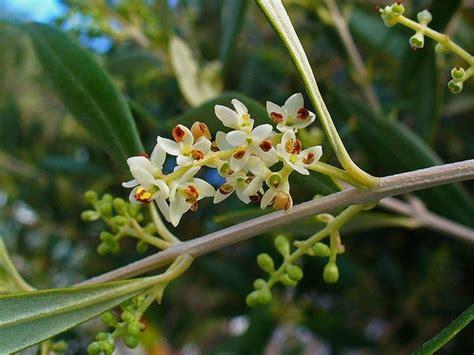 fiori di olivo fioritura olivo concime fioritura olivo giardinaggio