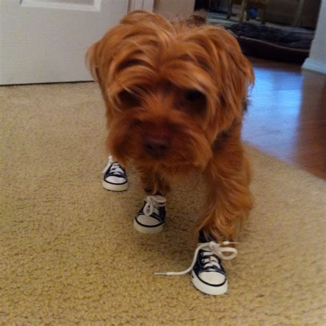 boots for yorkies yorkie shoes pets