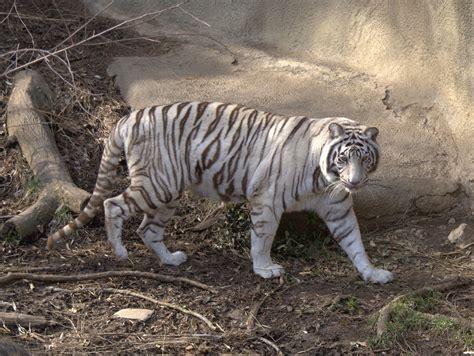 harimau putih prabu siliwangi elephant for