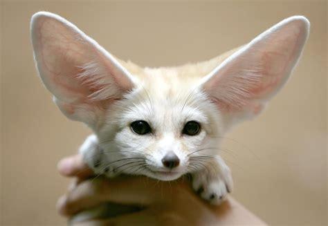 fox puppy wallpaper fennec fox puppy