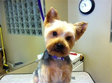 extra short haircut for yorkies yorkie teddy bear cut quotes