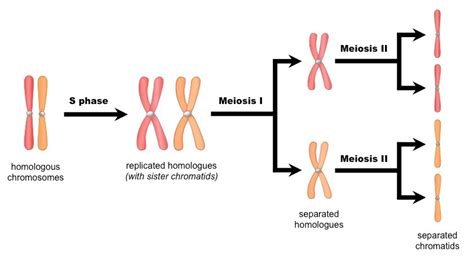 each human chromosome is replicated in about sections interphase bioninja