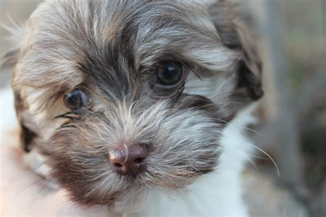 havanese puppies alabama sold puppies alabama havanese