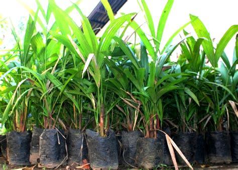 Bibit Kambing Di Jambi jambi jual bibit tanaman