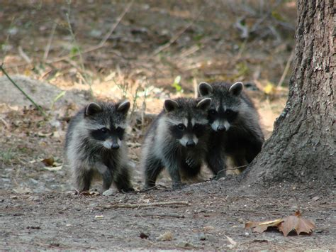 baby marder all about the northern raccoon welcome wildlife