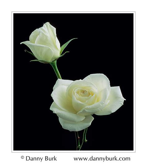 Rose Flower Images by Picture White Roses Flower Portrait By Danny Burk Photography