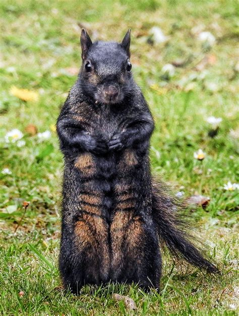 Black Squirrel Shows Off A Six Pack In Picture Taken In Black Squirrel