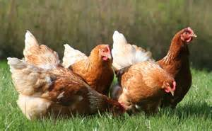 help our hens cornwall today