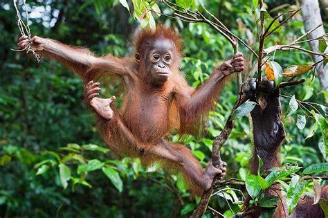 swing monkey pongo pygmaeus save flora and fauna