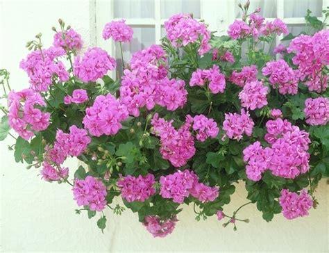 fiori per balconi soleggiati i fiori resistenti al sole piante da terrazzo fiori