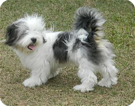shih tzu for sale central florida ceasar adopted puppy umatilla fl shih tzu sheepdog mix