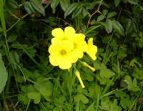 fiore trifoglio foto di fiori fotografie di fiori della camapnia