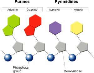 Do you know the difference between a purine and a pyrimidine