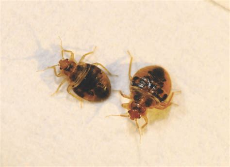 one bed bug bed bugs chemical cover caveats popular science