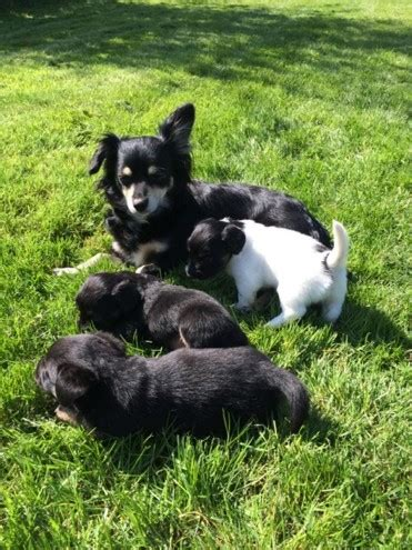 jackhuahua puppies for sale jackhuahua puppies for sale settle pets4homes