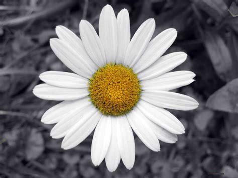 daisies flower daisy flower
