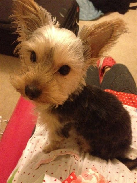 10 month yorkie teacup tiny 10 month yorkie for sale sheffield south pets4homes
