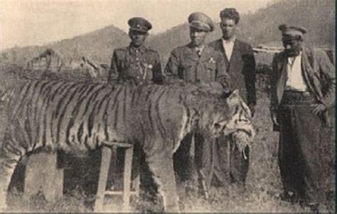 tigre persiana tigres extintos el tigre de java el tigre caspio el