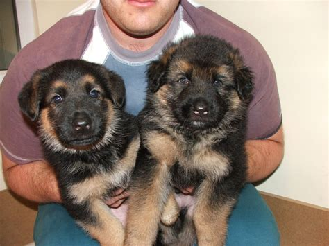 german sheperd puppies for sale large german shepherd dogs breeds picture
