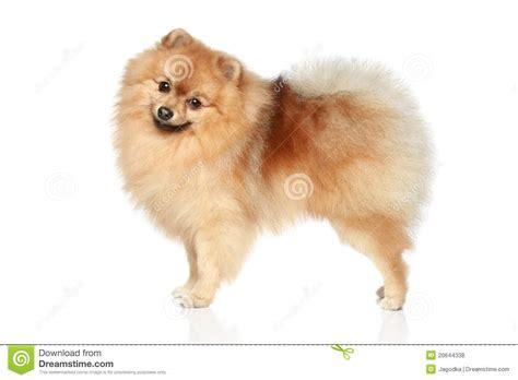 pomeranian spitz puppies pomeranian spitz royalty free stock photos image 20644338