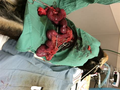 puss in uterus pyometra german shepherd with pyometra makes a swift recovery