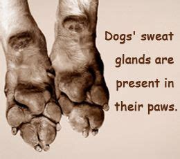 do dogs sweat glands diet for dogs with colitis facts about sweat glands pitbull dogs 101