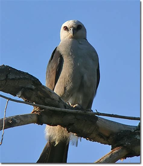 mississippi kite 171 oklahoma city audubon society