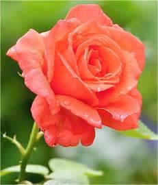 orange roses svitakovaeva deviantart