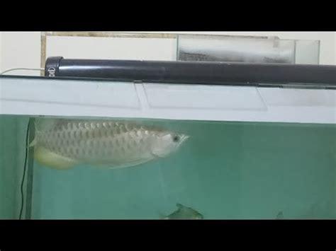 Pompa Akuarium Arwana tips menentukan besarnya pompa air pada aquarium louhan