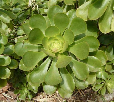 aeonium arboreum l webb berthel tree aenium