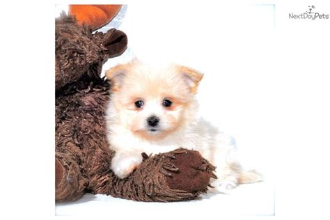 malti pom puppies for sale malti pom maltipom puppy for sale near columbus ohio 129b69f7 cb41