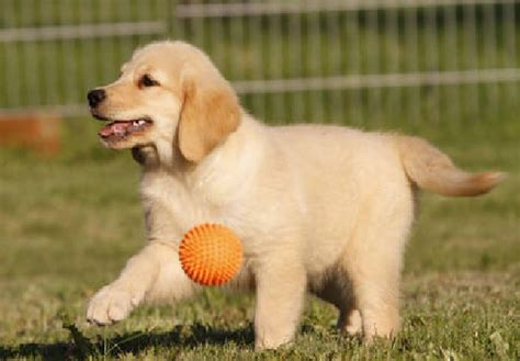 golden retriever puppies price in kerala and golden retriever puppies offer qatar doha