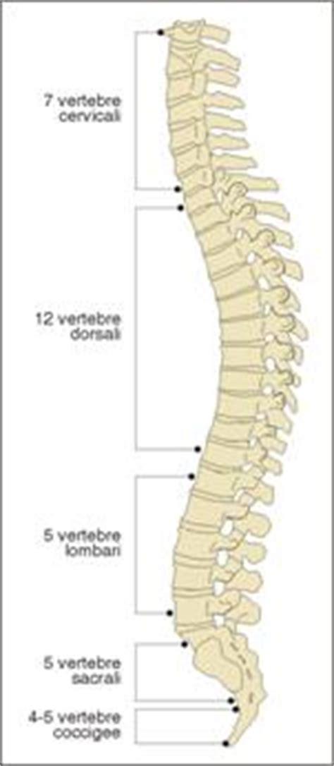gabbia toracica sporgente l apparato scheletrico la struttura delle ossa