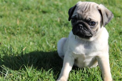 pug breeders mn black pug puppies for adoption breeds picture