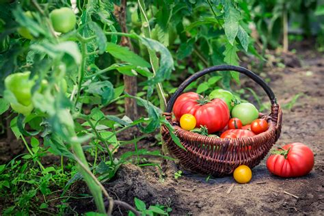 summer harvesting tips when to pick tomatoes corn and