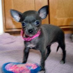 chihuahua puppies for sale mn 1000 images about chihuahuas on teacup chihuahua teacup chihuahua for