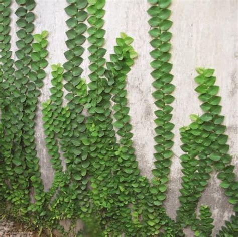 Lu Hias Untuk Pagar jual pohon dollar jenis tanaman rambat pohon dolar