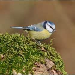 oiseaux des jardins m 233 sange bleue