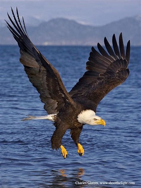 Kaos 3d Eagle Fly 17 best ideas about eagles on bald eagle falcons eagles and photo