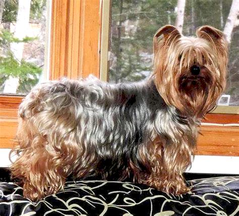 silver back yorkie happy ending home safe n sound lost trailer park playground